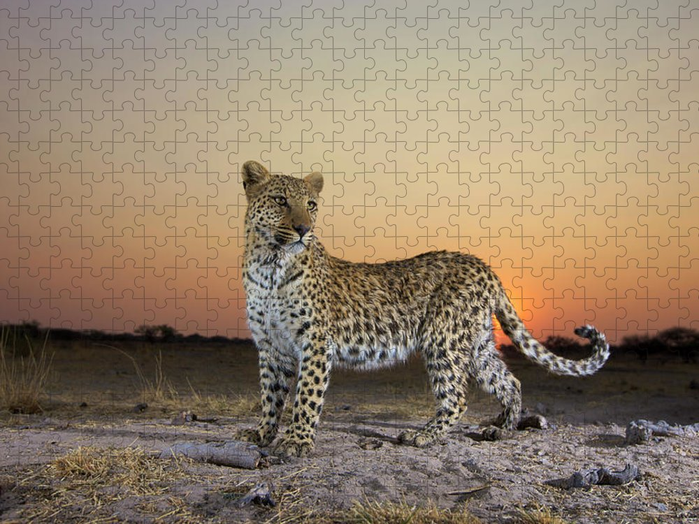 Alertness Puzzle featuring the photograph Full Length View Of Leopard Panthera by Heinrich Van Den Berg