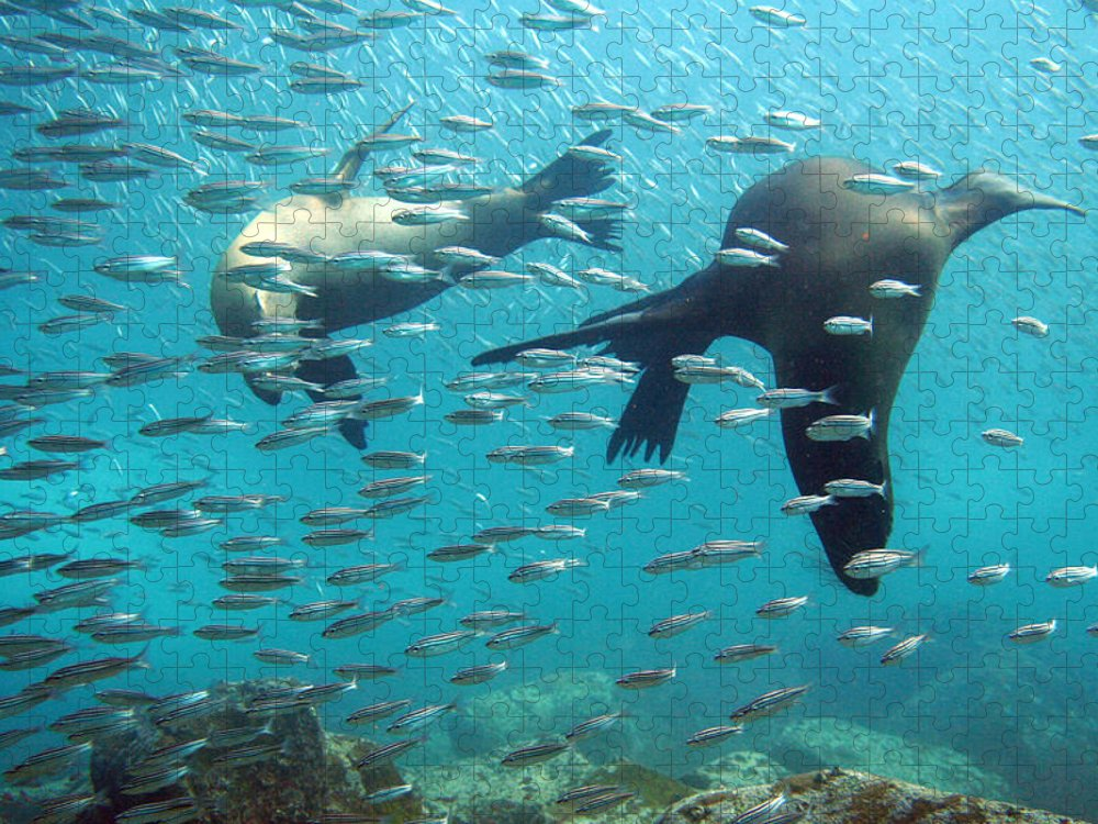 Underwater Puzzle featuring the photograph Galapagos Sea Lion by Bettina Lichtenberg