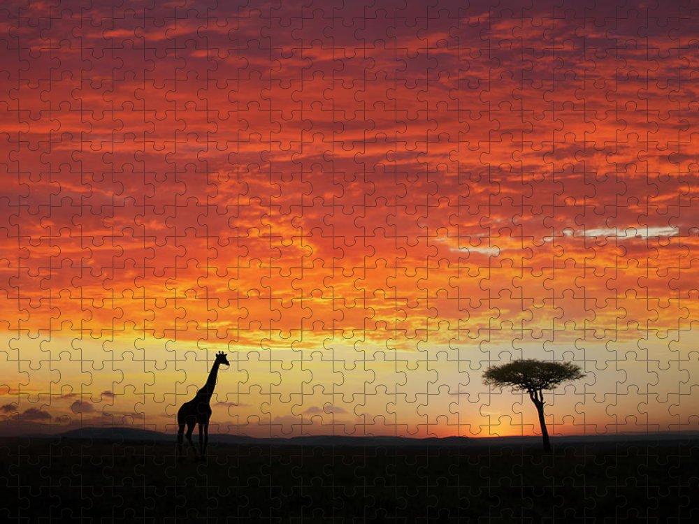 Kenya Puzzle featuring the photograph Giraffe And Acacia Tree At Sunset by Buena Vista Images