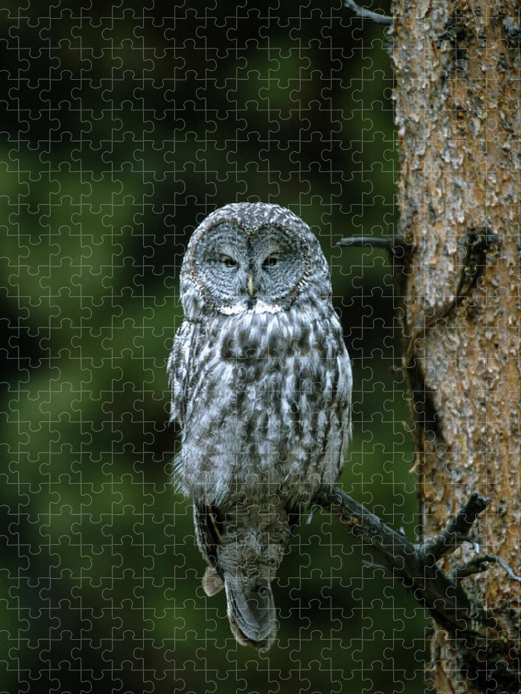 Great Gray Owl Puzzle featuring the photograph Great Gray Owl Strix Nebulosa On Perch by Riccardo Savi