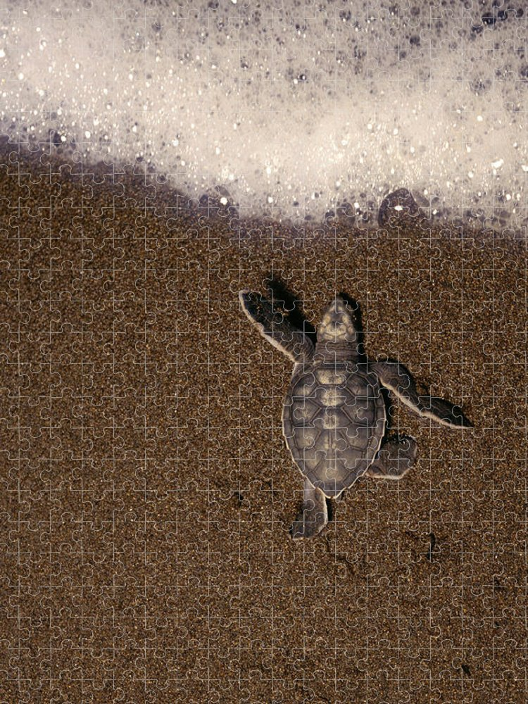 Animal Themes Puzzle featuring the photograph Green Turtle Chelonia Mydas Hatchling by Kevin Schafer