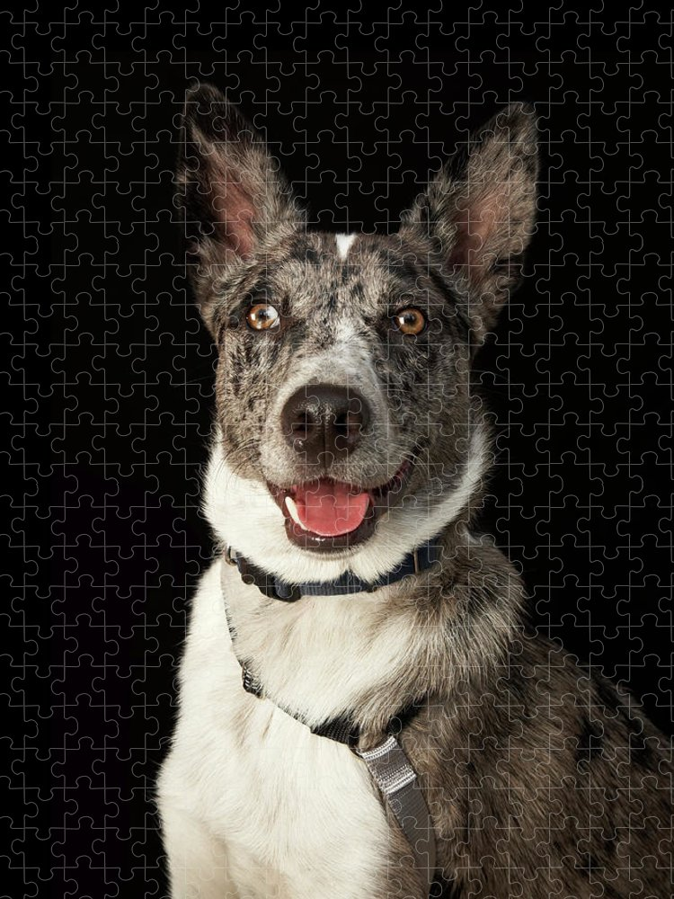 Pets Puzzle featuring the photograph Grey And White Australian Shepherd With by M Photo
