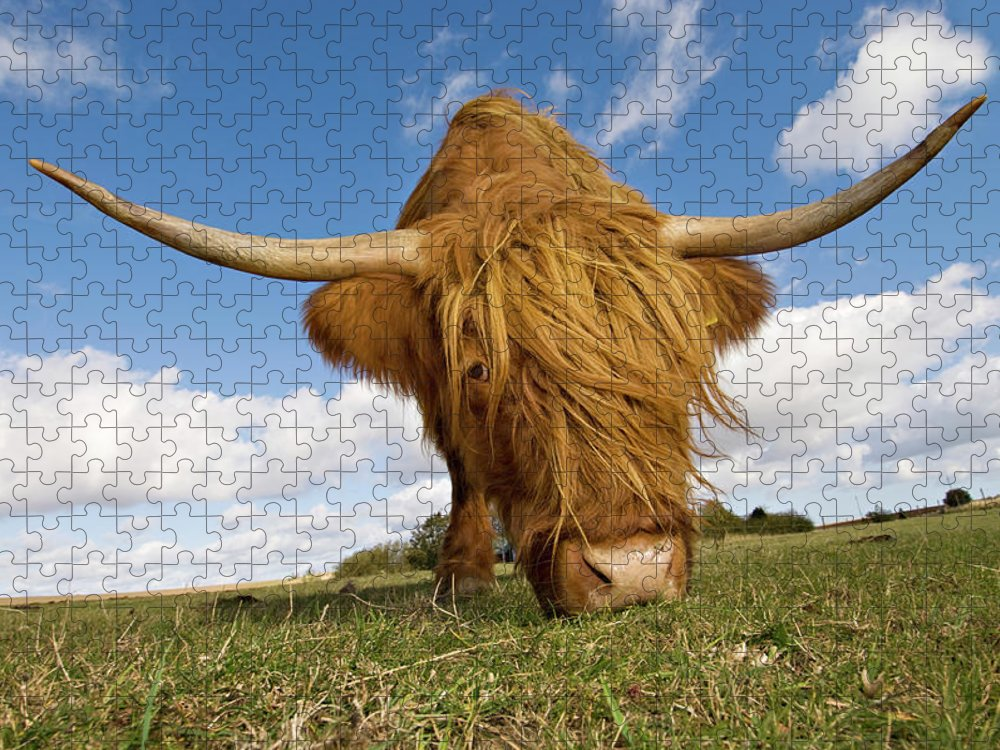 Horned Puzzle featuring the photograph Hairy, Horned, Highland Cow Grazing by Clarkandcompany
