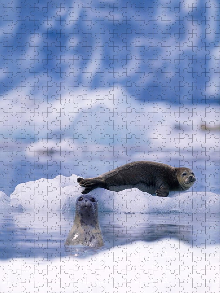 Animal Themes Puzzle featuring the photograph Harbor Seal Phoca Vitulina In Glacial by Paul Souders