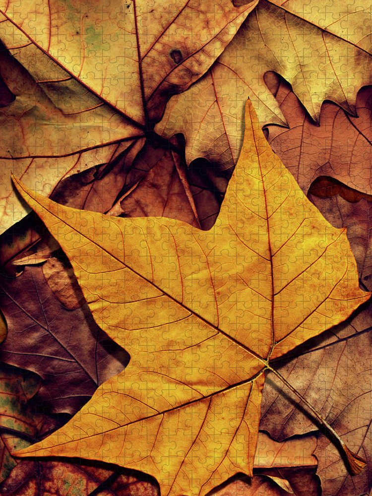Orange Color Puzzle featuring the photograph High Resolution Dry Maple Leaf On by Miroslav Boskov