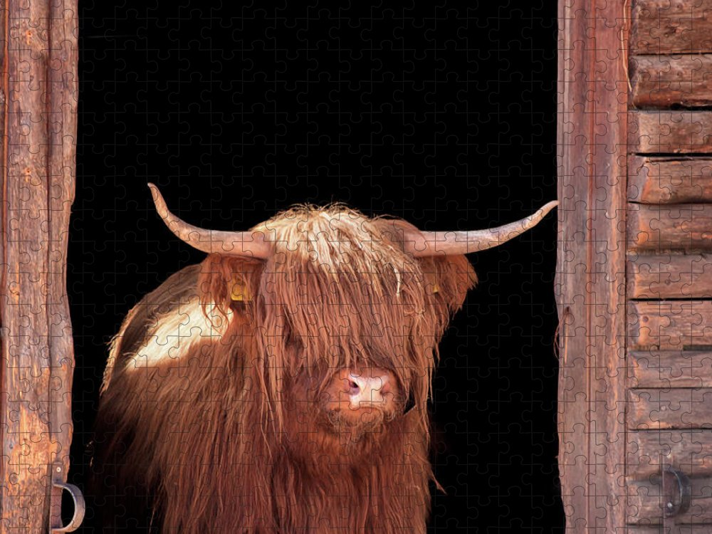 Horned Puzzle featuring the photograph Highland Cattle In Barn Door by Kerrick