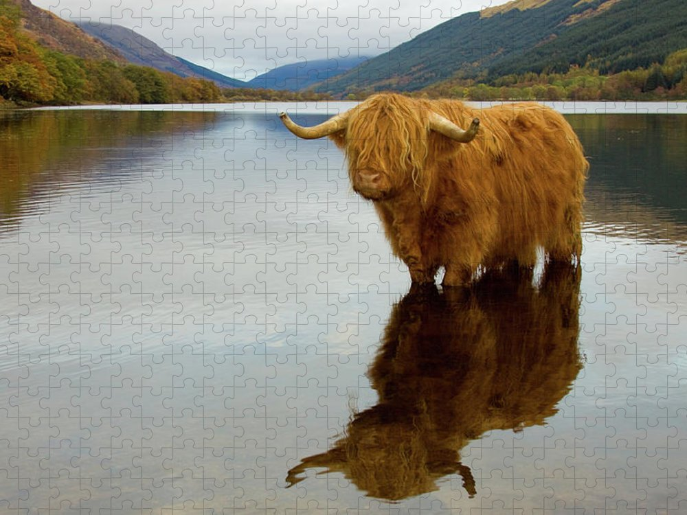 Horned Puzzle featuring the photograph Highland Cow by Empato