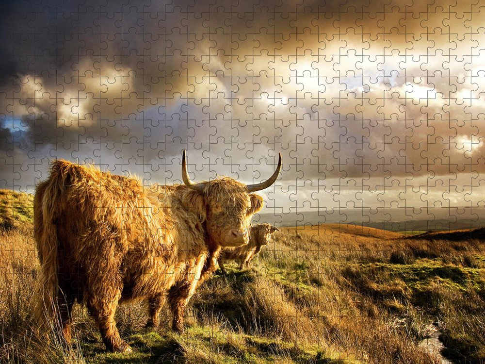 Horned Puzzle featuring the photograph Highland Cows by Michael Honor