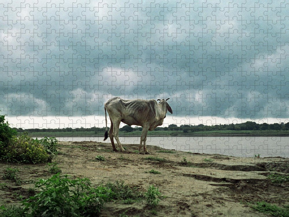 Animal Themes Puzzle featuring the photograph Holy Cow By Ganges River by Boaz Rottem
