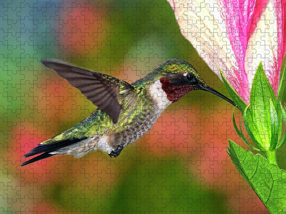 Animal Themes Puzzle featuring the photograph Hummingbird Feeding On Hibiscus by Dansphotoart On Flickr