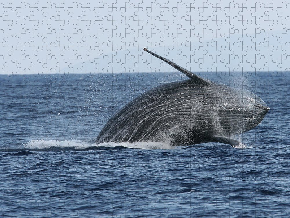 Animal Puzzle featuring the photograph Humpback Whale Breach 2 Of 3 by Adwalsh