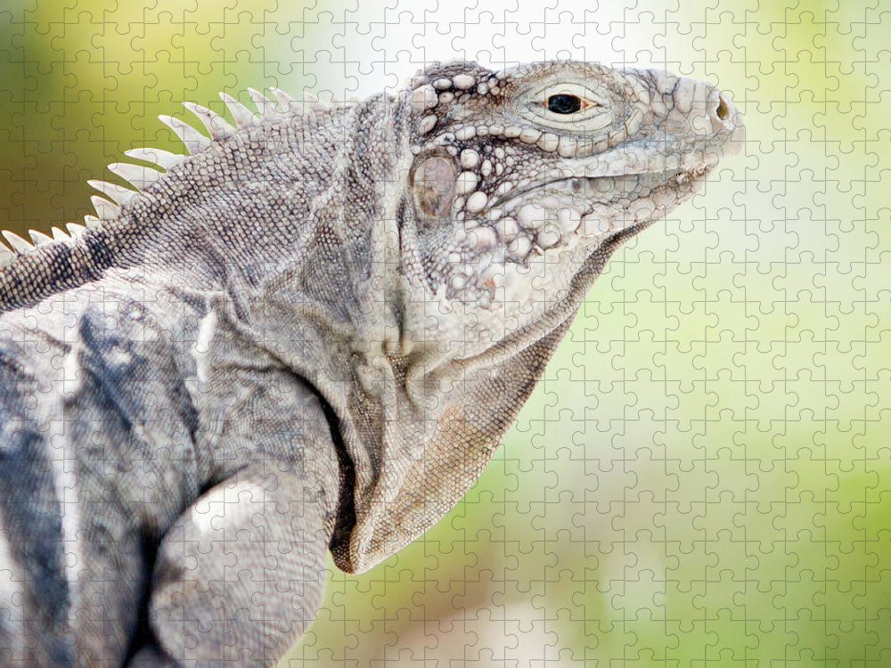 Animal Themes Puzzle featuring the photograph Iguana In The Caribbean by Noel Hendrickson