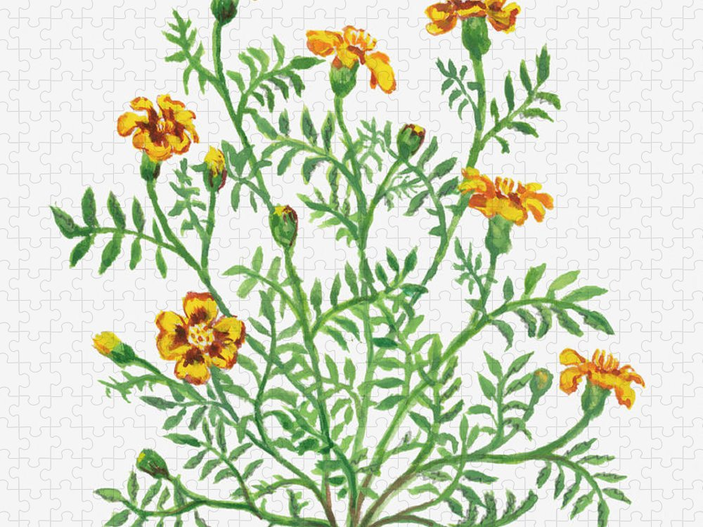 Long Puzzle featuring the digital art Illustration Of Tagetes Patula French by Dorling Kindersley
