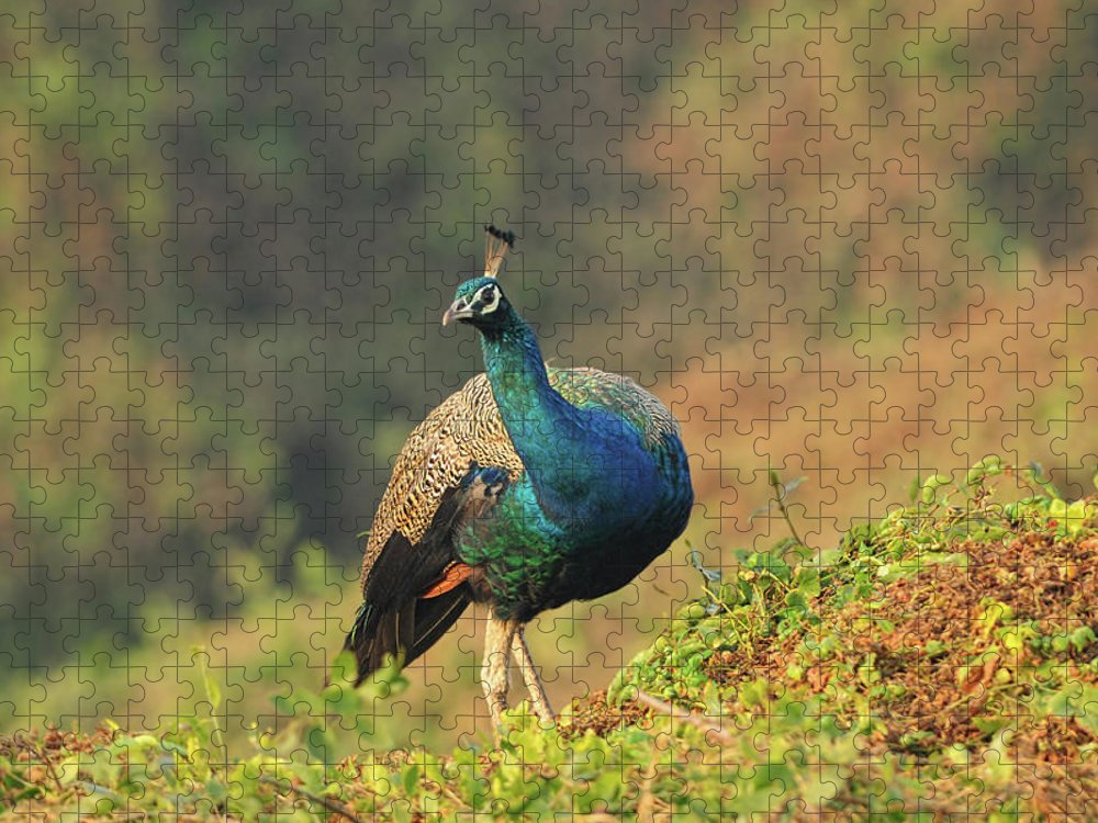 Dawn Puzzle featuring the photograph Indian Peafowl by Nishant Shah