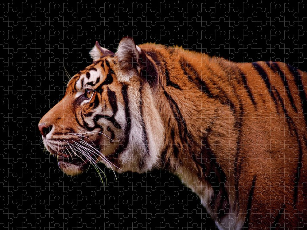 Black Background Puzzle featuring the photograph Isolated Profile Of A Tiger by Photo By Steve Wilson