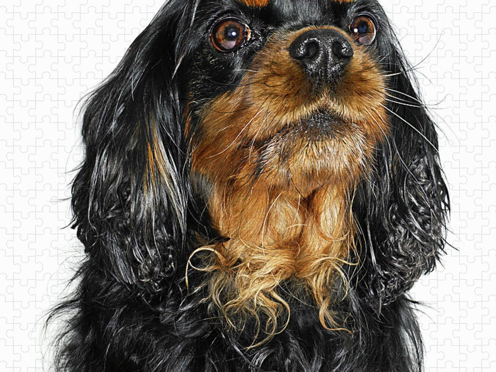 Pets Puzzle featuring the photograph King Charles Cavalier Portrait by Gandee Vasan