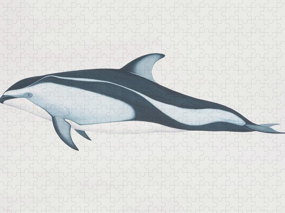 White Background Puzzle featuring the digital art Lagenorhynchus Obliquidens, Pacific by Martin Camm