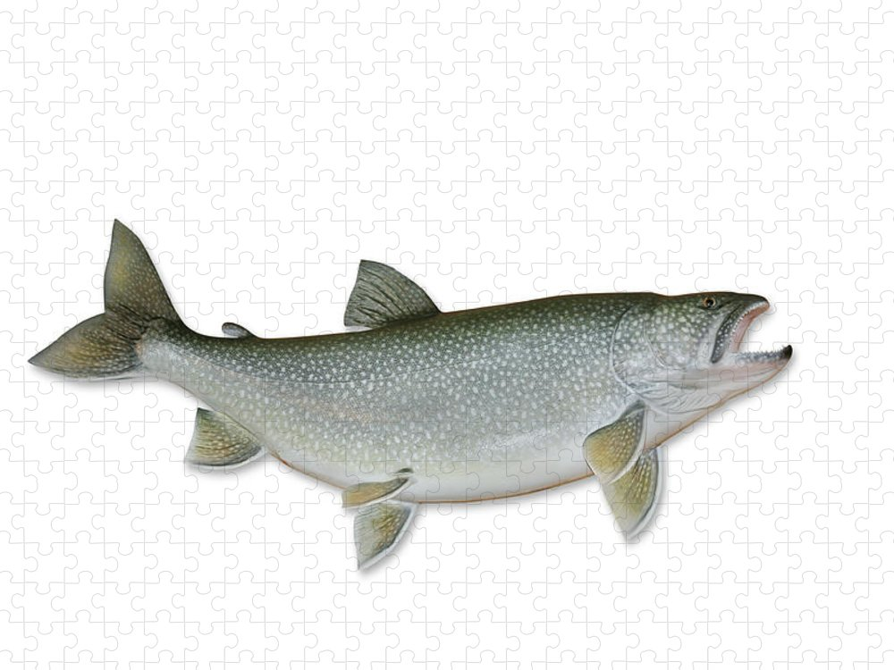 White Background Puzzle featuring the photograph Lake Trout With Clipping Path by Georgepeters
