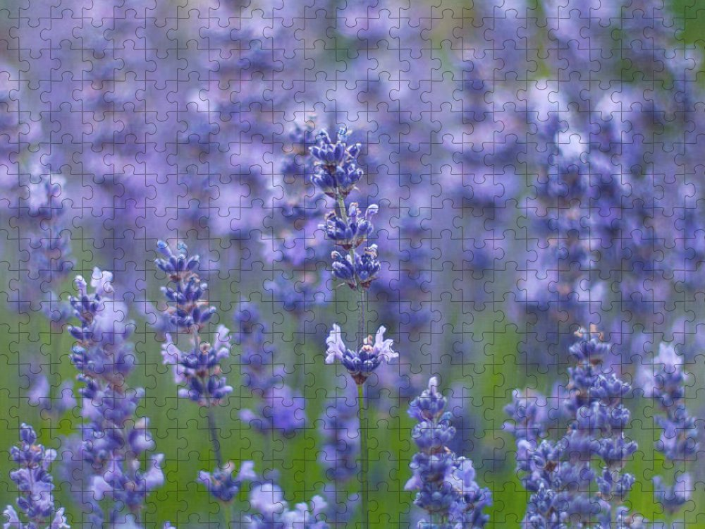 Otago Region Puzzle featuring the photograph Lavender Flowers by Jill Ferry