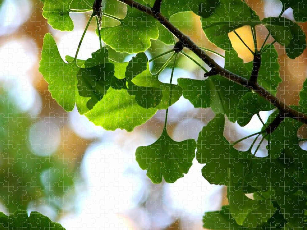 Ginkgo Tree Puzzle featuring the photograph Leaves On A Ginko Tree by Christopher Biggs