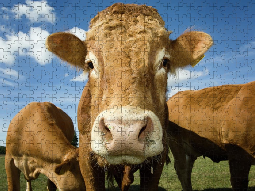 Cow Puzzle featuring the photograph Limousin Bull by Clarkandcompany