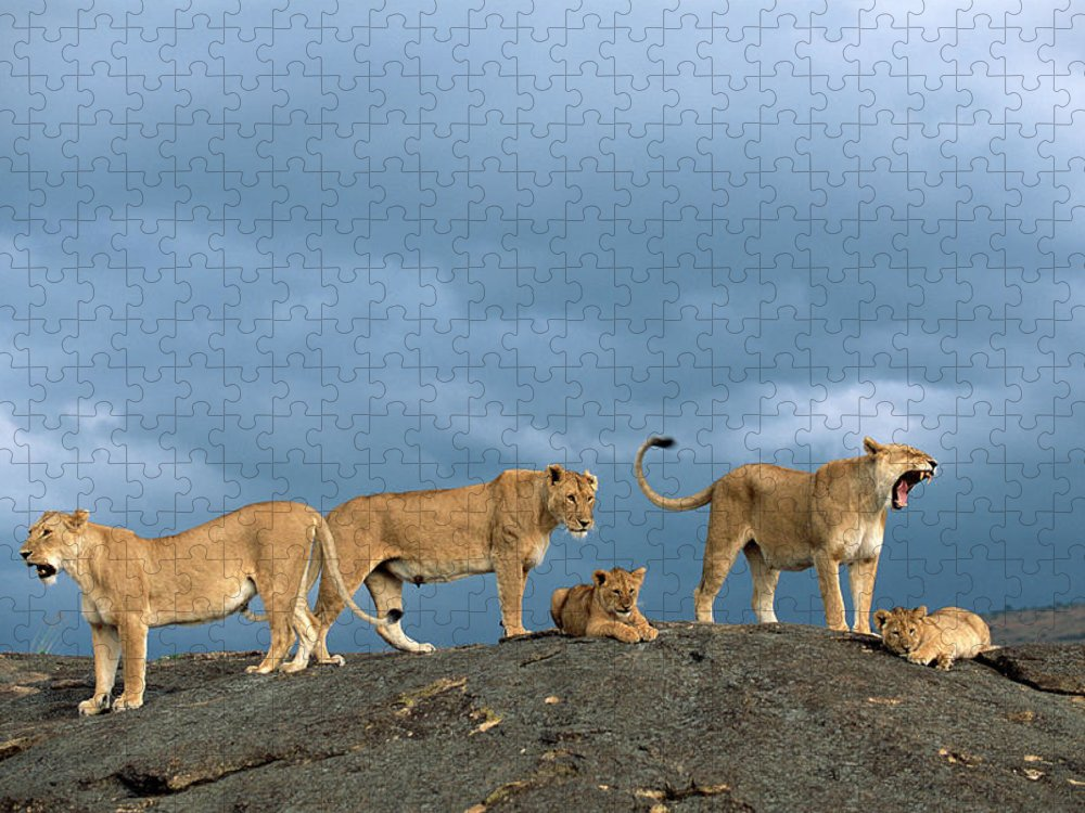 Kenya Puzzle featuring the photograph Lionesses And Cubs Panthera Leo On by James Warwick