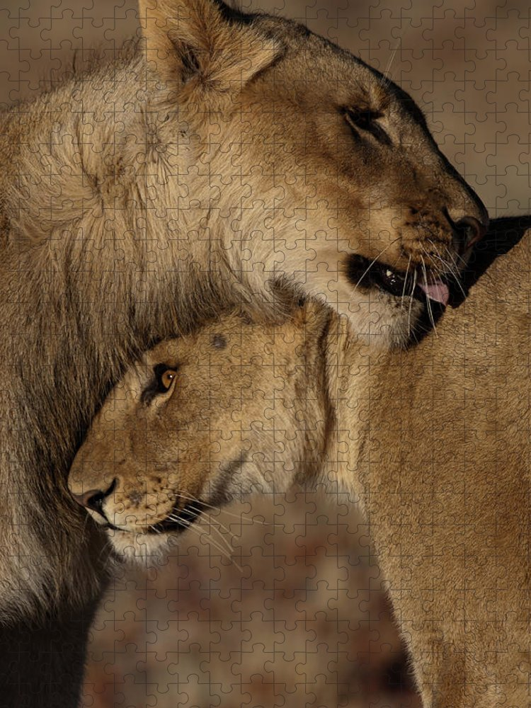 Skeleton Coast Puzzle featuring the photograph Lions Panthera Leo Pair Bonding by Dave Hamman