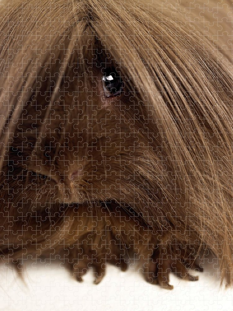 Pets Puzzle featuring the photograph Long Haired Guinea Pig, Close-up by Michael Blann
