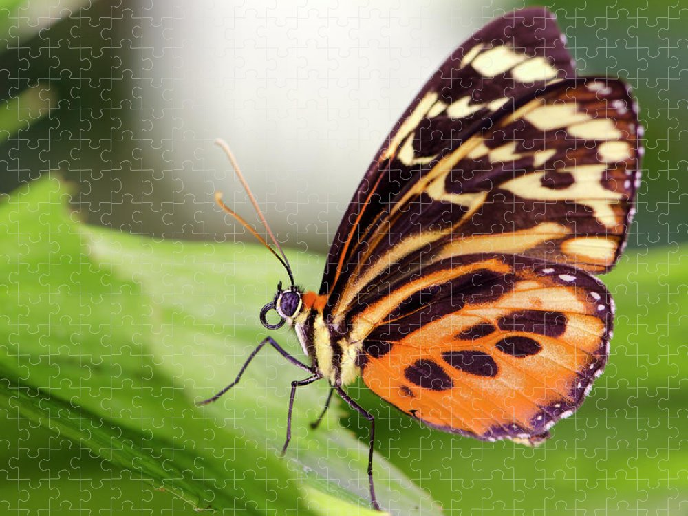 Flowerbed Puzzle featuring the photograph Macro Insect Common Tiger Glassywing by Elementalimaging