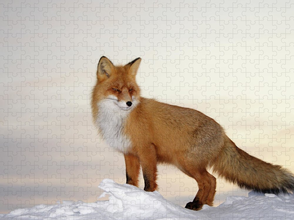 Black Color Puzzle featuring the photograph Majestic Fox by Dmitrynd