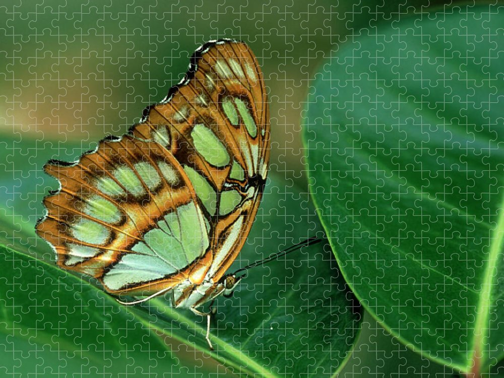 Nymphalidae Puzzle featuring the photograph Malachite Butterfly, Siproeta Stelenes by Adam Jones