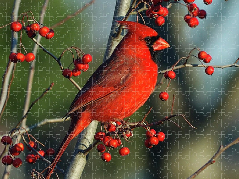 Animal Themes Puzzle featuring the photograph Male Cardinal On Branch by H .h. Fox Photography