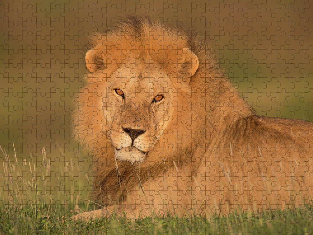 Grass Puzzle featuring the photograph Male Lion At Sunrise by Michael J. Cohen, Photographer
