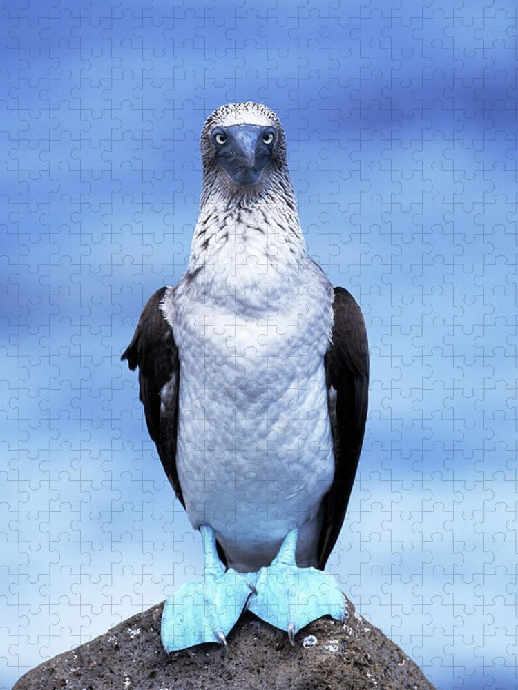Animal Themes Puzzle featuring the photograph Masked Booby Sula Dactylatra Galapagos by Art Wolfe
