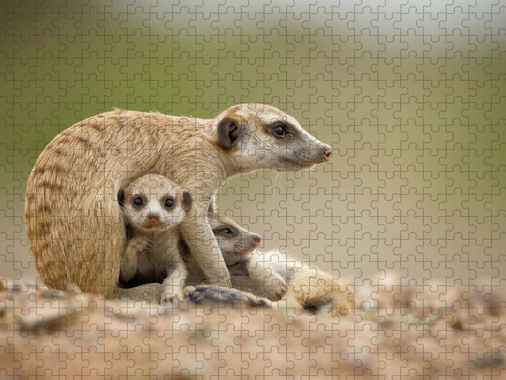 Care Puzzle featuring the photograph Meerkat Pups With Adult, Namibia by Paul Souders