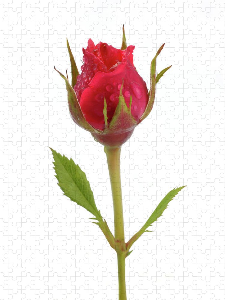 White Background Puzzle featuring the photograph Miniature Pink Rose Bud With Water by Rosemary Calvert