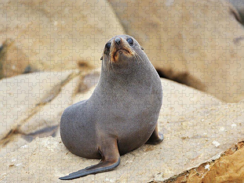 Alertness Puzzle featuring the photograph New Zealand Fur Seal, Arctocephalus by Raimund Linke