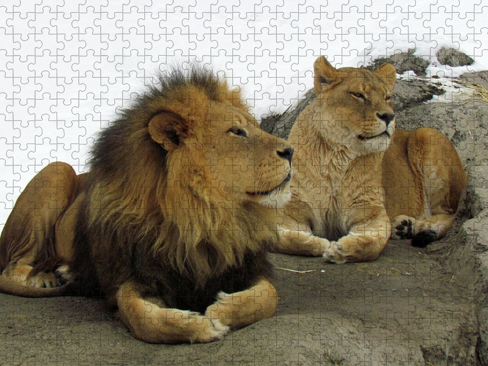Animal Themes Puzzle featuring the photograph Pair Of Lions by Images By Nancy Chow