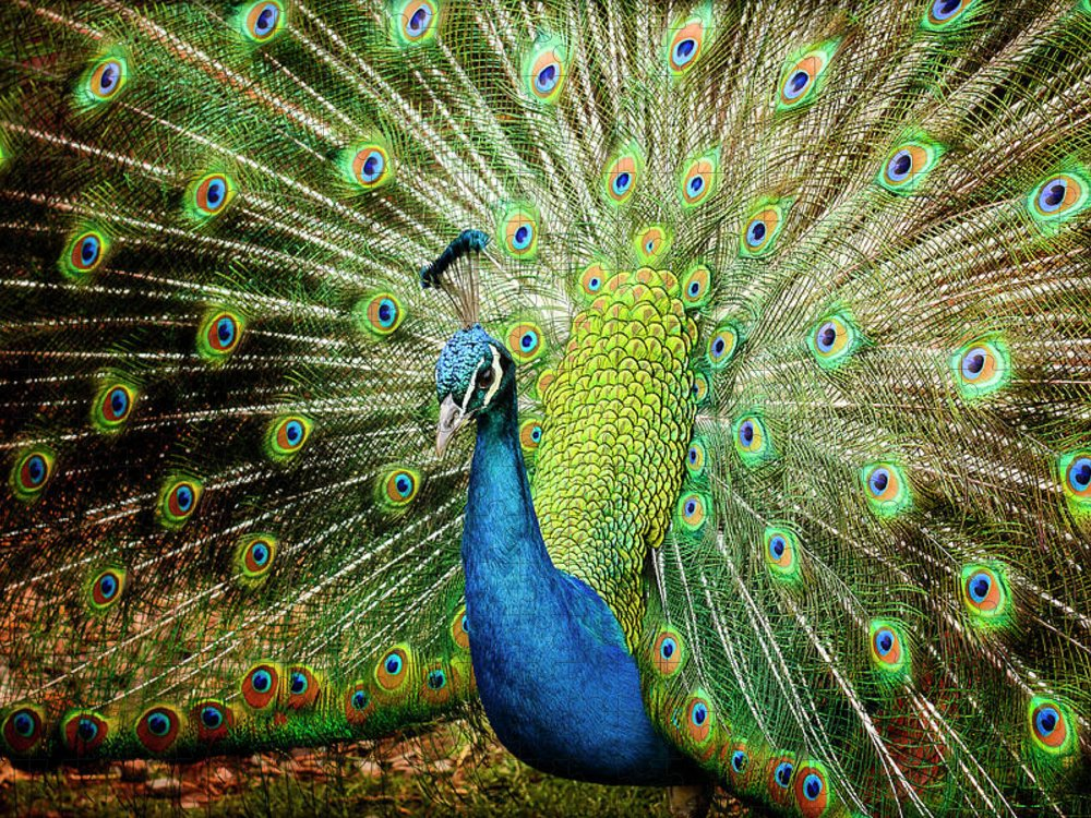 Animal Themes Puzzle featuring the photograph Peacock by Tony Garcia