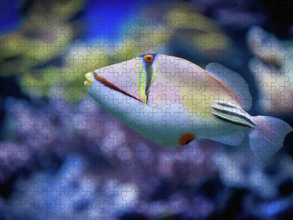 Underwater Puzzle featuring the photograph Picasso Triggerfish by Reynold Mainse / Design Pics