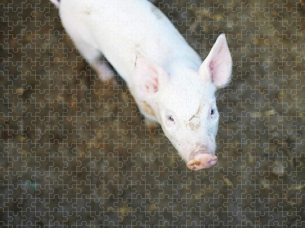 Pig Puzzle featuring the photograph Pig Standing In Dirt Field by Peter Muller