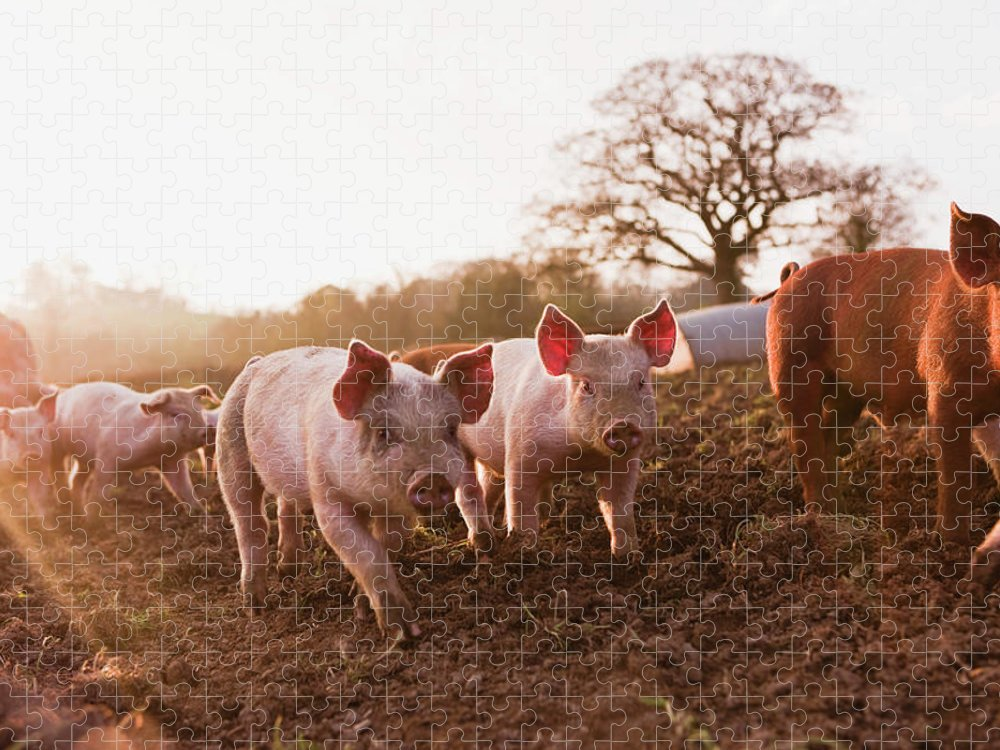 Pig Puzzle featuring the photograph Piglets In Barnyard by Jupiterimages