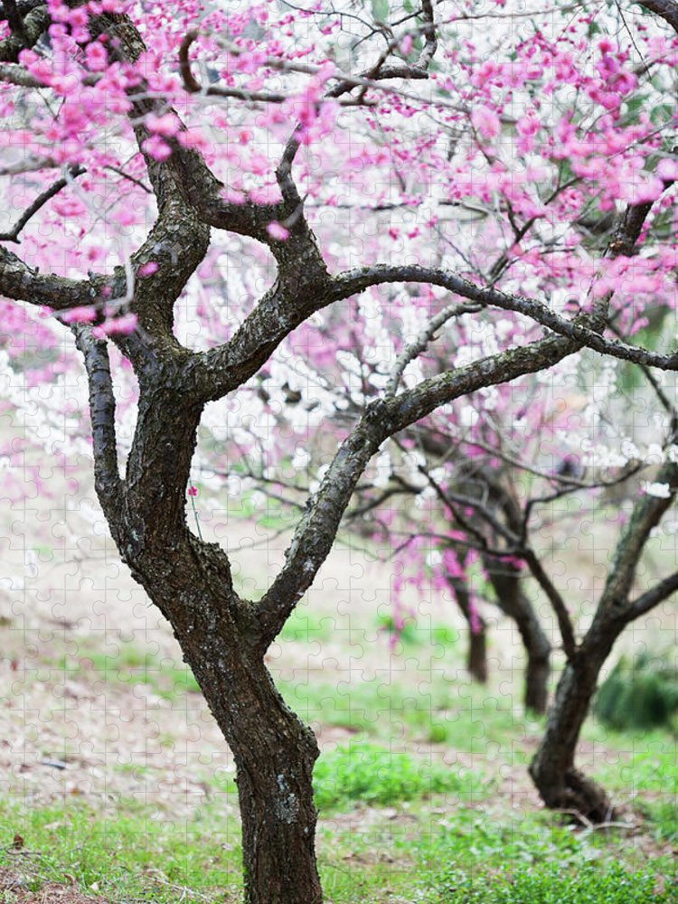 Scenics Puzzle featuring the photograph Plum Blossoms by Ooyoo