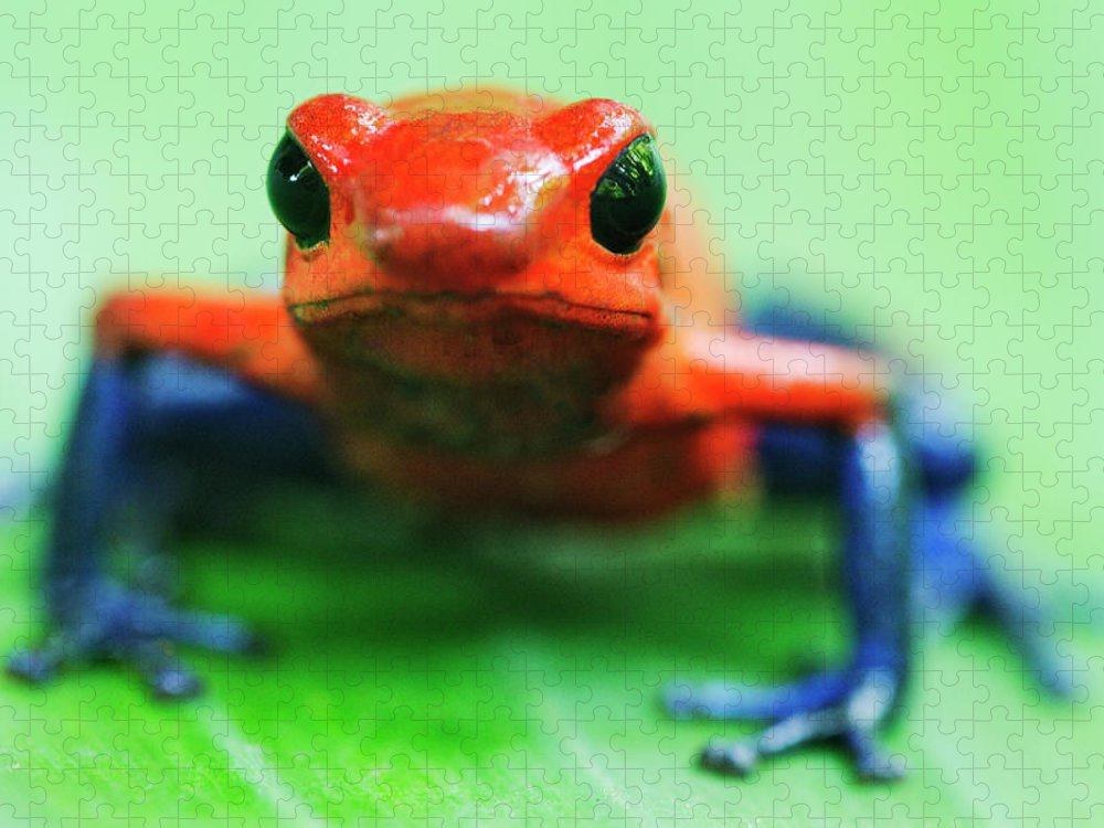 Animal Themes Puzzle featuring the photograph Poison Dart Frog by Jeremy Woodhouse