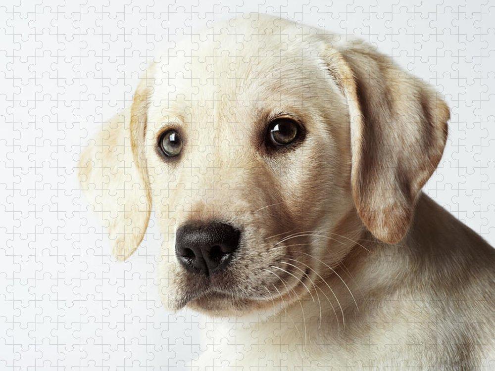 White Background Puzzle featuring the photograph Portrait Of Blond Labrador Retriever by Uwe Krejci