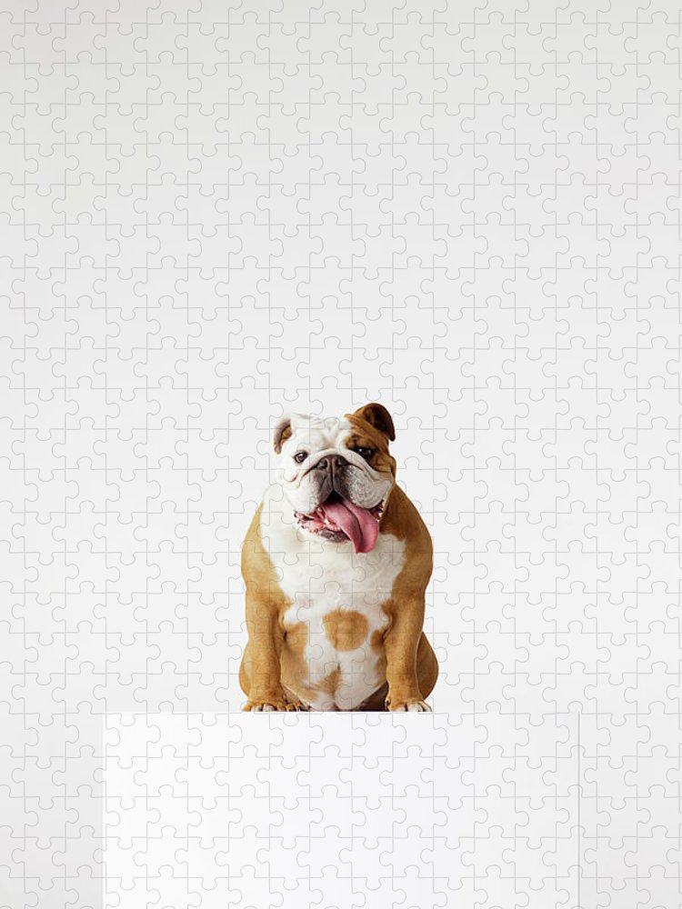 Pets Puzzle featuring the photograph Portrait Of British Bulldog Sitting by Compassionate Eye Foundation/david Leahy