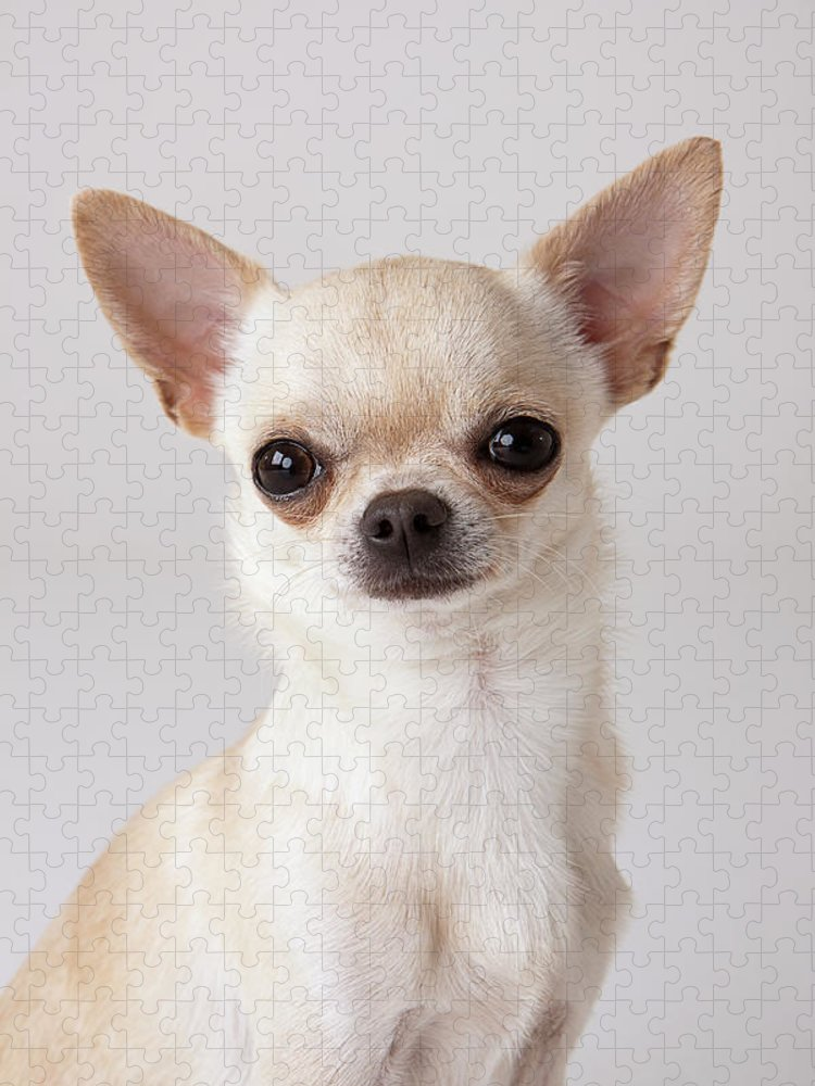 Pets Puzzle featuring the photograph Portrait Of Chihuahua by Compassionate Eye Foundation/david Leahy