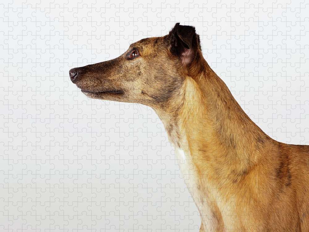 Pets Puzzle featuring the photograph Portrait Of Greyhound, Side View by Compassionate Eye Foundation/david Leahy