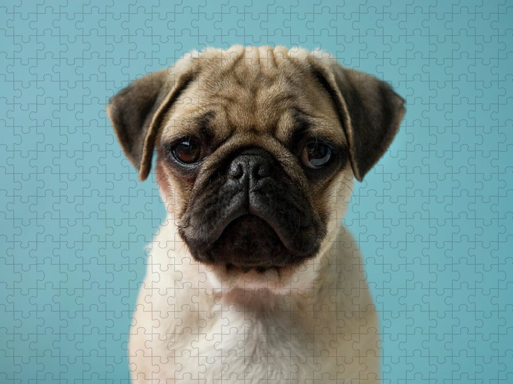 Pets Puzzle featuring the photograph Pug Puppy Against Blue Background by Reggie Casagrande