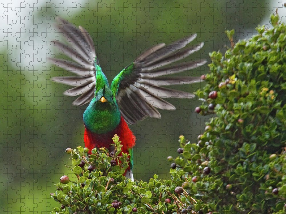 Animal Themes Puzzle featuring the photograph Quetzal Taking Flight by Photograph Taken By Nicholas James Mccollum
